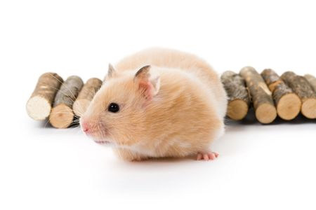 Teddy Bear Hamster with white background Stock Photo - 5726638