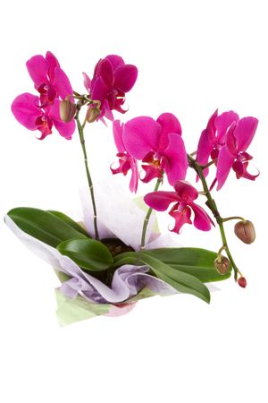 Pink Moth Orchid with white background