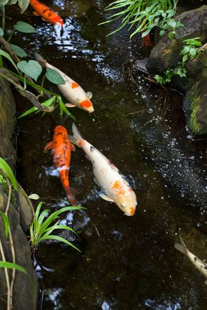 koi fish pond: colorful Koi close up shot