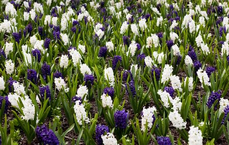 White and blue Hyacinth for background
