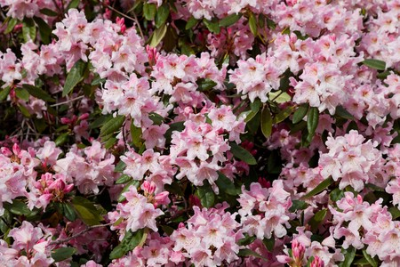 Blossoming Pink Azalea for background