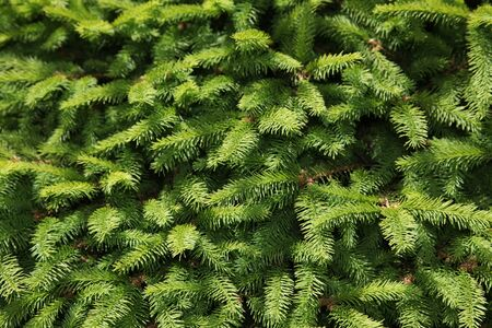 evergreen branch: �rbol de pino close up shot