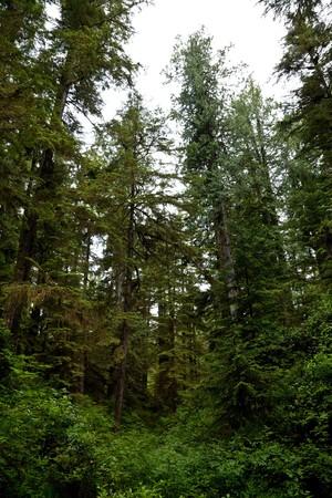 森林、熱帯雨林、ダグラスもみの木