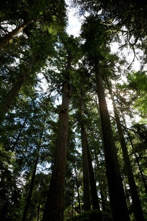 Forest, giant Douglas fir trees photo