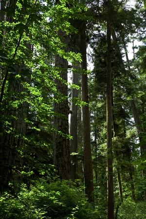 douglas: Forest, Douglas fir trees for background