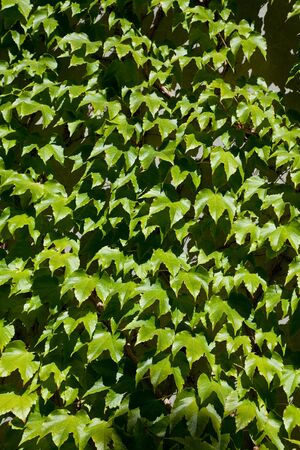 ivy wall: Wall covered in ivy for background Stock Photo