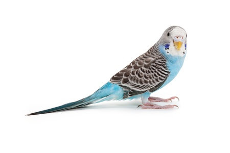 perico: Periquito azul cerca de tiro