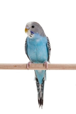 budgie: blue budgie close up shot