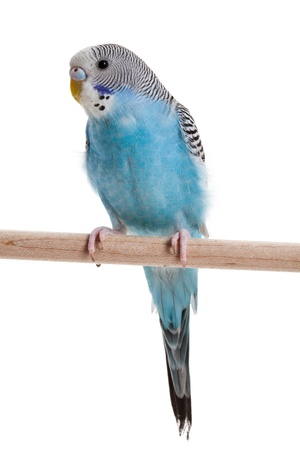 blauwe budgie close-up shot Stockfoto