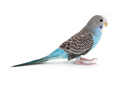 parkiet: blauwe budgie close-up shot Stockfoto