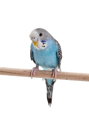 perico: Periquito azul cerca shot