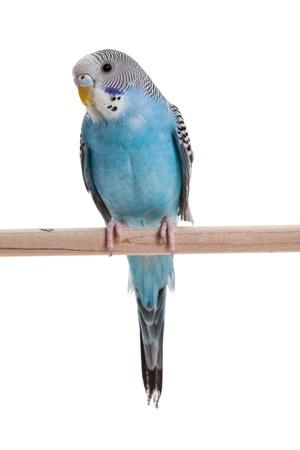 perico: periquito azul cerca a tiros