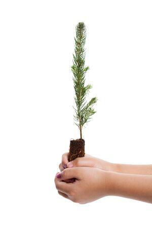 Pine Tree with white background Фото со стока