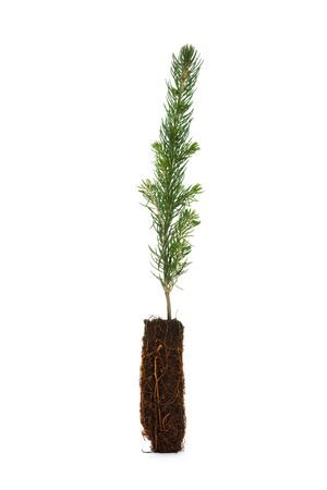 saplings: Pine Tree with white background Stock Photo