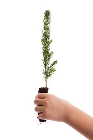 Pine Tree with white background photo