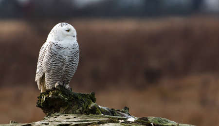January 2012,  About 28 snowy owls near the foot of 72nd Street on Boundary Bay, Delta, BC, Canada photo