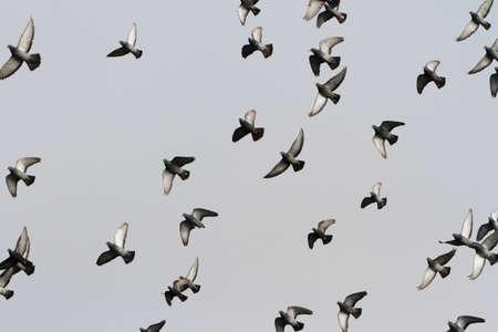 Flying Pigeon for background use Banco de Imagens