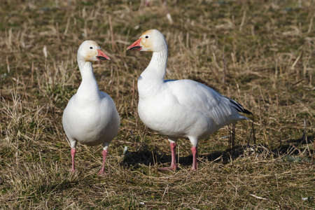 Snow Goose, migratory bird close up shot photo