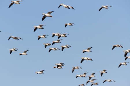 migratory: Flying Snow Goose, migratory bird Stock Photo