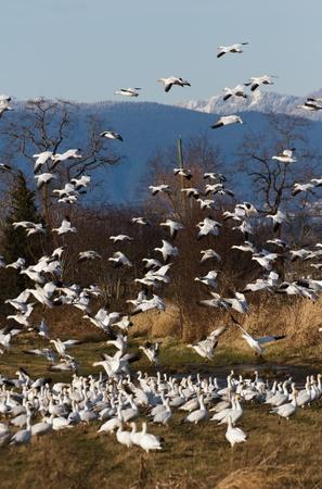 flying geese: Flying Snow Goose, migratory bird Stock Photo