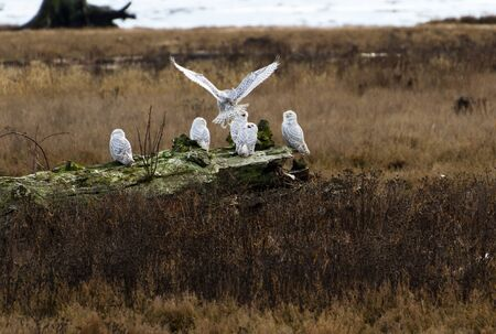 Snowy Owl, Feb. 2012, Boundary Bay, Delta, BC, Canada photo