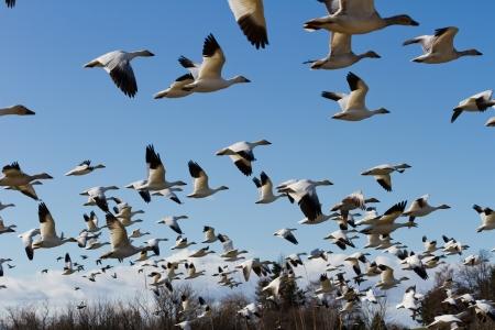 bandada pajaros: Snow Goose, las aves migratorias con el cielo azul