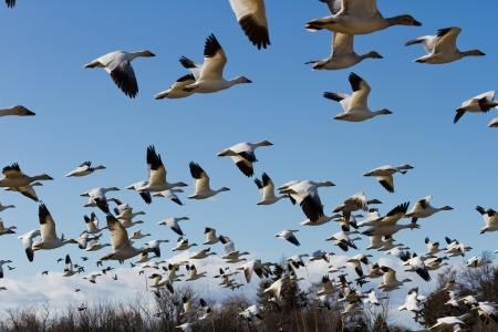 flying geese: Snow Goose, migratory bird with blue sky Stock Photo