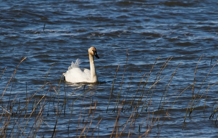 trumpeter swan: Trumpeter Swan at the coast of Vancouver