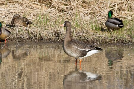 white fronted goose: White fronted Goose at Richmond BC Canada