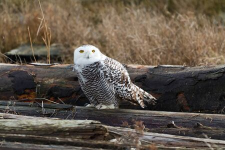 Snowy Owl, Feb. 2012, Boundary Bay, Delta, BC, Canada