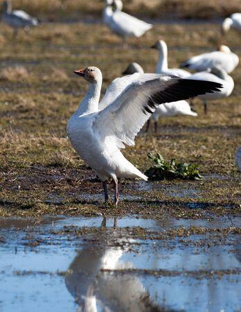 canada goose: Snow Goose, migratory bird close up shot