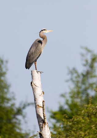 Great Blue Heron and tree trunk photo