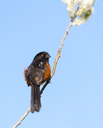 Spotted Towhee with blue sky