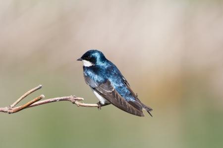 Boom Swallow met groene achtergrond