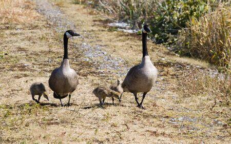 canada goose: Canada Geese Family bc Canada
