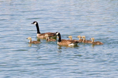 gosling: Canada Geese Family bc Canada