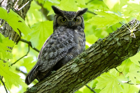 Great Horned Owl, Delta BC Canada May 2012  photo