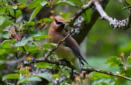 Cedar Waxwing with green background