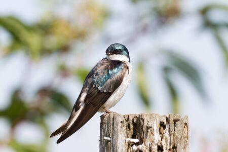 Tree Swallow close-up shot