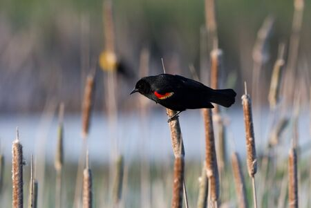blackbird: Red Winged Blackbird close up Stock Photo