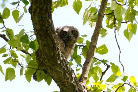 Young Great Horned Owl, Delta BC Canada May 2012  photo