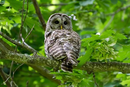 Barred Owl with green background photo