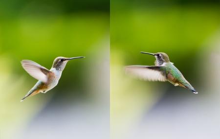 rufous: Female rufous hummingbird close up