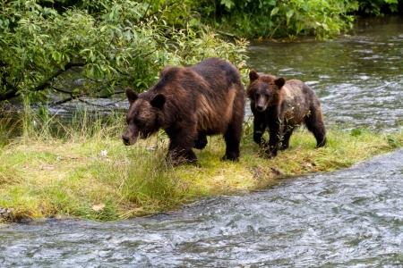 Grizzly Bear e Bear Cub pescare salmoni in Alaska Hyder Archivio Fotografico - 15793969