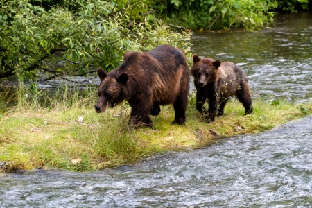 Grizzly bear and Bear Cub Catching Salmon at hyder Alaska Foto de archivo
