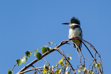 kingfisher:  Male Belted Kingfisher