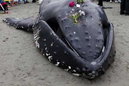 ashore: Juvenile Humpback whale washes ashore and died in White Rock BC Canada, June 12, 2012
