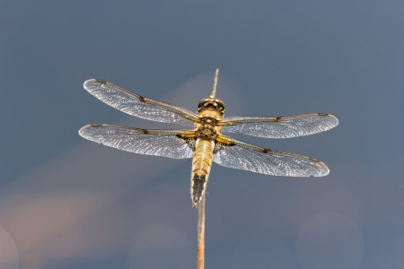 chaser: Four-spotted Chaser Dragonfly with blue background