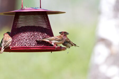 bird feeder: House Finch and feeder close up Stock Photo