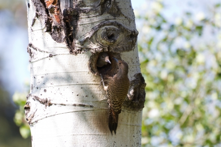 Northern Flicker and nest close up Imagens
